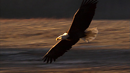 鹰视频素材