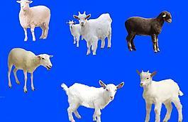 羊分层素材图片