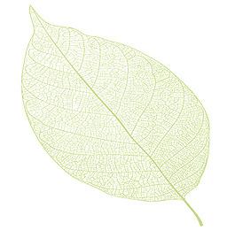 小清新树叶脉络树叶