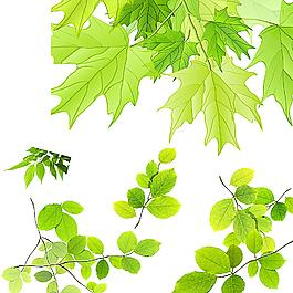 枫叶 树叶素材图片