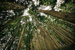 森林,透視,高大