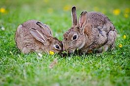 歐洲兔子,兔女郎,草