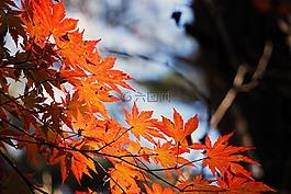 红色的枫叶,秋季,秋天的树叶