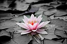 睡莲,粉红色,水生植物