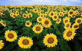 向日葵,向日葵的字段,植物群