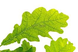 橡树叶,绿色,树叶