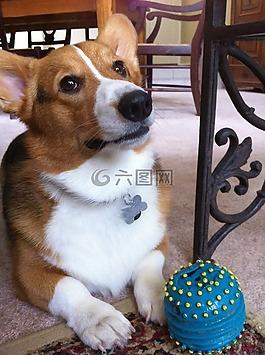 狗,柯基犬图片,宠物