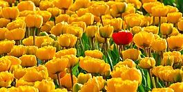 郁金香,鲜花,黄色