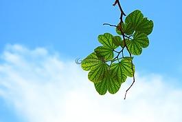 叶子,嫩枝,枝杈