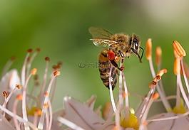 蜜蜂,春天,花
