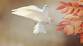 鸽子,鸟,动物