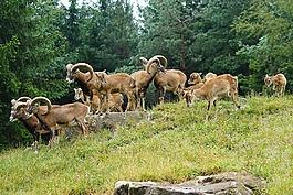 歐洲盤羊,歐洲歐洲盤羊,一群