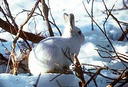 北极野兔,极地的兔子,兔子