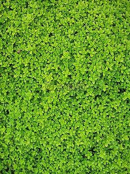 常春藤,植物,叶子