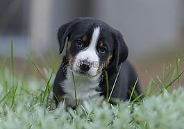阿彭策尔,小狗,狗