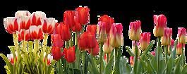 郁金香,春天,性質