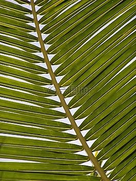 棕榈,藻体,叶子