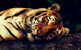 虎,动物,野生动物