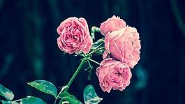 粉色玫瑰,西班牙花园,粉红色