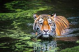 虎,野生动物,动物园
