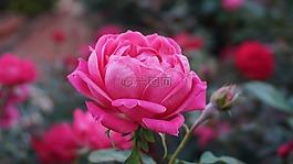 一朵玫瑰,浪漫,美女