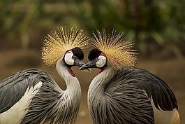 灰色丹頂鶴,鳥,起重機