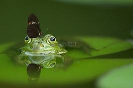 青蛙,蝴蝶,池塘