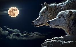 狼,扭矩狼,月亮