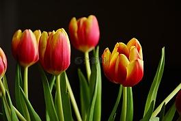 郁金香,春天的花朵,开花