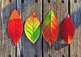 叶子,秋天,颜色