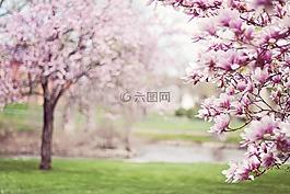 玉蘭樹,春天,花