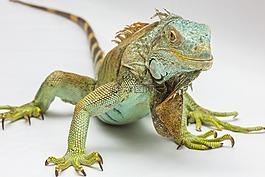 鬣蜥,白色背景,爬行动物