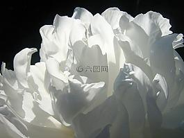牡丹,花卉,白