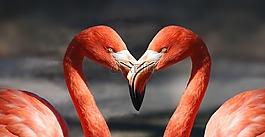 弗拉明戈,情人節,心臟