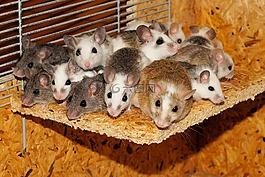 小鼠,mastomys,家庭