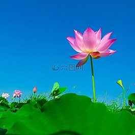 荷花,荷叶,开花