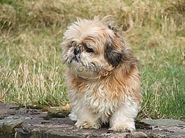 西施,狗,寵物