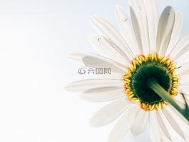 雏菊,花,植物