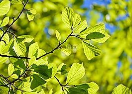 波斯橡木,parrotia佩尔西卡,叶子