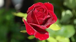 玫瑰,紅色,愛情