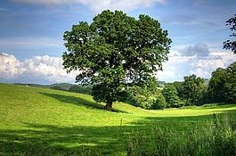 樹,奧克,景觀