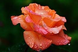玫瑰,厂,一滴水