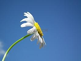 花卉,黛西,白