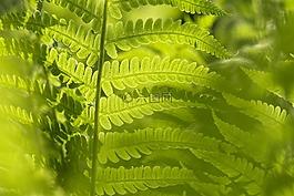 matteucia蕨,蕨类植物,叶