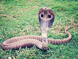 眼镜王蛇,眼镜蛇,蛇