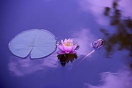 蓮花,自然,水