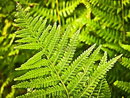蕨类,性质,绿色