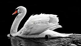 天鵝,水,白