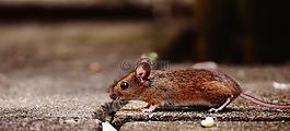 鼠标,啮齿动物,可爱