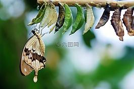 棕色,白蝴蝶,蝴蝶